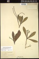 Euphorbia cubensis image