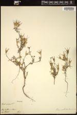 Nigella arvensis image