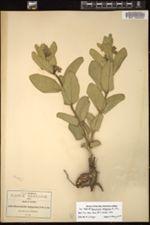 Image of Pherotrichis leptogenia