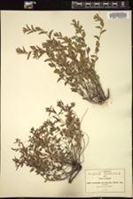 Image of Acalypha brevicaulis
