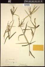 Image of Croton sagranus