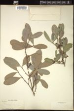 Image of Elaeodendron xylocarpum