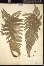 Polystichum californicum image