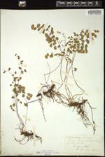 Image of Adiantum chilense