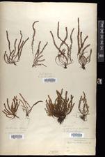 Image of Polypodium trichomanoides