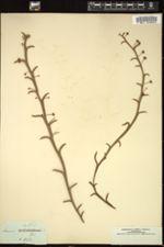 Acacia alata image