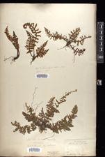 Image of Aleuritopteris rufa