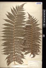Dicksonia berteroana image