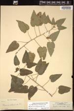 Image of Pavonia achanioides