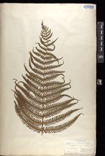 Thelypteris pachyrhachis image