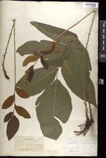 Image of Acrostichum nicotianifolium