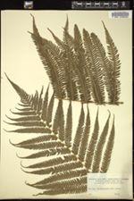 Thelypteris patens image