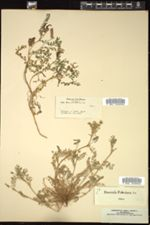 Image of Biserrula pelecinus