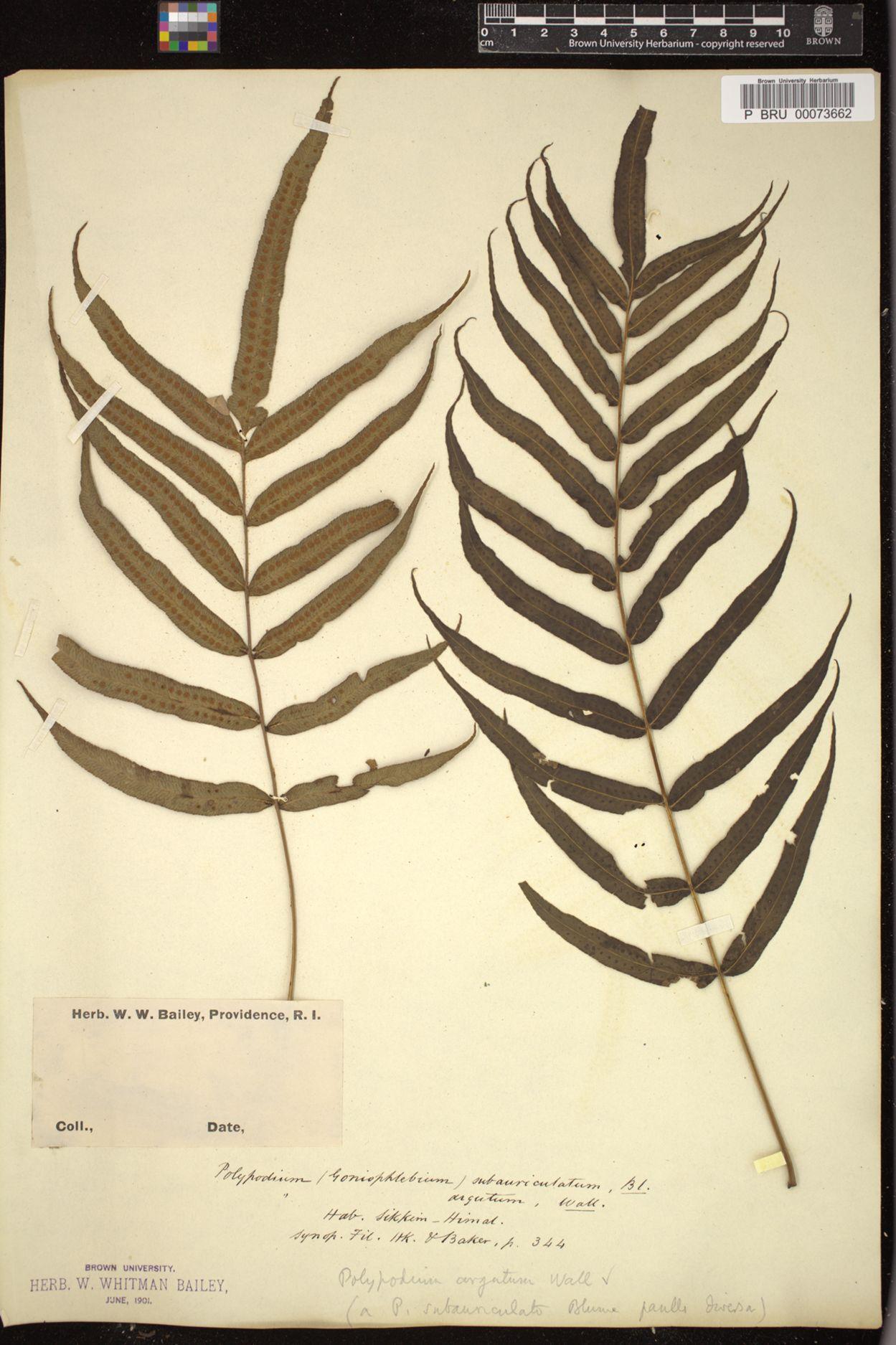 Polypodium argutum image