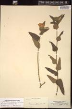 Image of Peltaea subpandurata