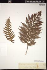 Woodwardia radicans var. americana image