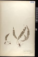 Image of Polystichum thomsonii