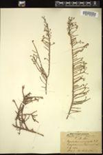 Image of Aspalathus microphylla