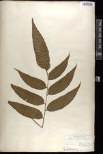 Image of Diplazium roemerianum