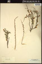Image of Caragana pygmaea