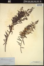 Image of Acacia prominens