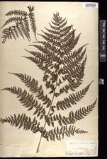 Image of Asplenium aspidioides