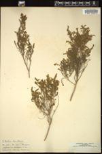 Image of Aspalathus adelphea