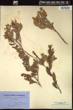 Acacia myrtifolia image