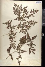 Image of Lygodium scandens