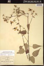 Image of Pavonia melanommata