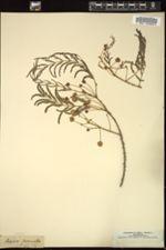 Image of Acacia pennata