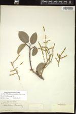 Image of Dendrophthora mancinellae