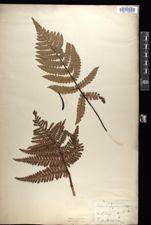 Dicksonia arborescens image