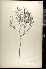 Psilotum triquetrum image