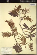 Image of Calliandra grandiflora