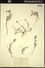 Image of Astragalus hypoleucus
