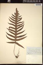 Polypodium amoenum image