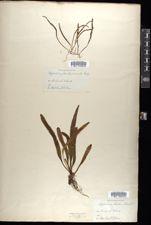 Image of Polypodium hookeri