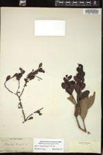 Image of Eremolepis wrightii