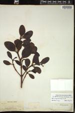 Image of Dendrophthora tetrastachya