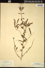 Adenocarpus complicatus image