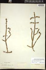 Image of Dendrophthora epiviscum