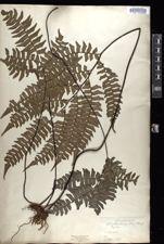 Image of Adiantum latifolium