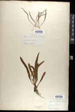 Image of Polypodium pseudogrammitis