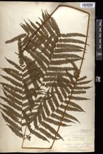 Image of Pteris longipes