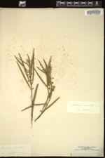 Image of Acacia stricta