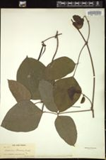 Image of Centrosema plumieri