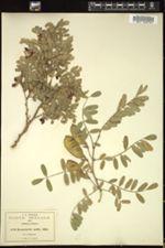 Image of Brongniartia mollis