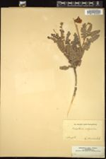 Image of Calophaca wolgarica