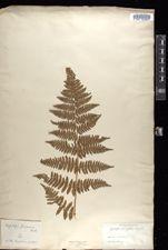 Hypolepis tenuifolia image